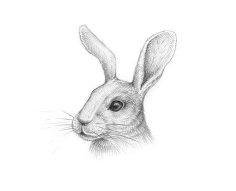Rabbit Drawing How To Draw A Rabbit Step By Step