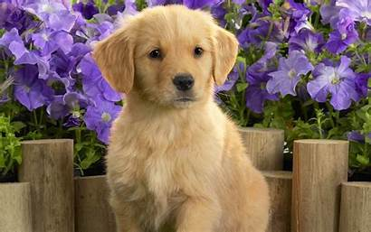 Puppy Labrador Yellow Wallpapers 1920 1200