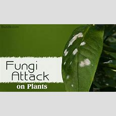 A Brief List Of Plant Diseases Caused By Fungi
