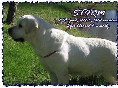 Lab Breeders Stud Spartacus Sire Bringer Rain