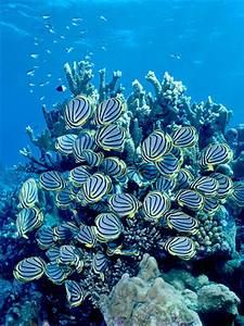Meyer's Butterflyfish feeding on Acropora coral, Aldabra ...