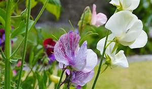 6 Easy Tips For Growing Sweet Peas  U2022 Lovely Greens