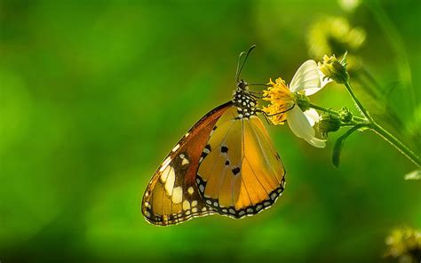 Butterfly Plain Tiger Hd Wallpapers For Desktop