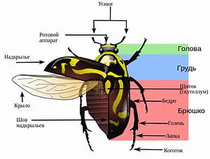 File Fiddler Beetle Morphology Diagram-2 Svg
