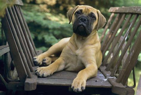Do Bullmastiffs Shed by World Tourism Medium Sized Dogs