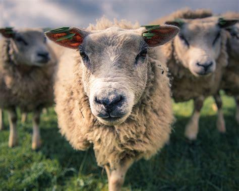 fondos de pantalla ovejas vista frontal la