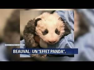 Grosse Peluche Panda : une grosse peluche en vivant mais au fait comment va le mini panda de beauval youtube ~ Teatrodelosmanantiales.com Idées de Décoration