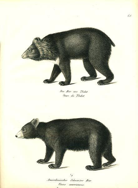tibetan bear  american black bear tattoo images
