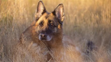 Dog German Shepherd Wallpapers Hd / Desktop And Mobile