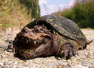 Snapping Turtle | Wild Life Animal