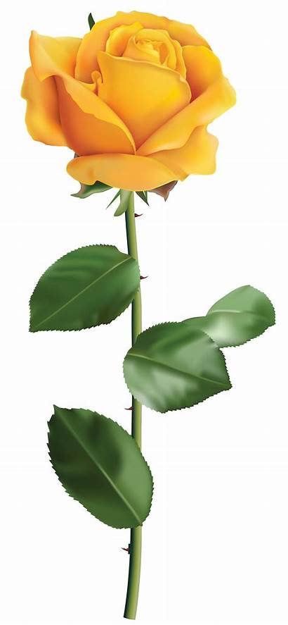 Rose Yellow Transparent Clip Roses Clipart Flower