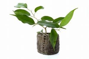Ficus Benjamini Vermehren : ficus benjamini vermehren so ziehen sie stecklinge der ~ Lizthompson.info Haus und Dekorationen