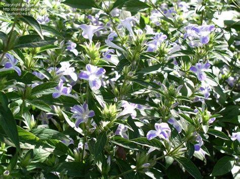 plantfiles pictures bush petunia green s barleria