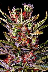 Bester Cannabis Dünger : 17 best ideas about cannabis cultivation on pinterest ~ Michelbontemps.com Haus und Dekorationen