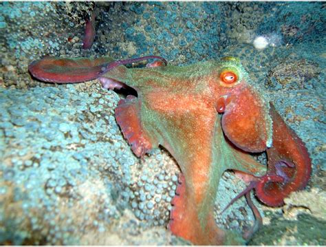 octopus the animals kingdom