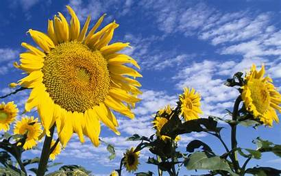 Colorful Sunflowers Wallpapers