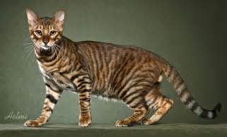 tiger cat breed toyger history personality appearance health and pictures