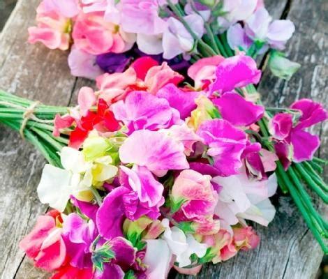 fiori di pisello pisello odoroso coltivazione e cura