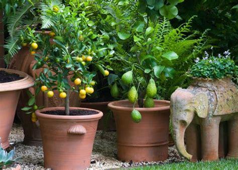 arbres fruitiers en pot arbres fruitiers en pots trotteur le de toutes vos humeurs