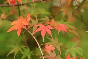 Japanischer Ahorn Krankheiten Erkennen Und Behandeln