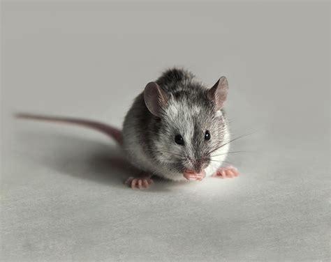 souris dans la cuisine souris domestique dératisation pour en finir avec les souris