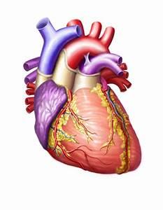 Human Heart Medical Illustration