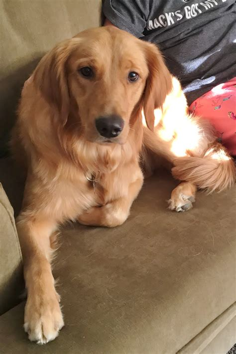 Ginger Gh 973 Fta Goldheart Golden Retriever Rescue