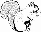 Squirrel Coloring Printable Squirrels sketch template
