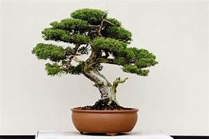 Pflege Von Bonsai Bäumchen : bonsai baum tipps zur pflege f r einsteiger liebenswert ~ Sanjose-hotels-ca.com Haus und Dekorationen