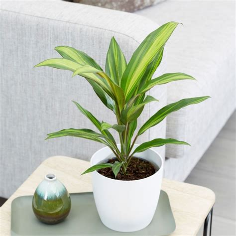 Buy good luck plant Cordyline fruticosa Kiwi: £10.39 ...