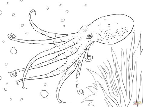 fotos de calamares  colorear colorear imagenes