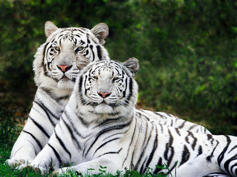 Fondos De Pantalla De Leones Bengal Tiger Facts Pictures Habitat Information Diet Lifestyle Animals Adda