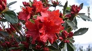 Rhododendron Blaue Mauritius : rhododendron ludlowii 39 wren 39 immergr ne zwergsorte der ~ Lizthompson.info Haus und Dekorationen