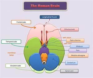 Educative Diagrams  The Underside Of The Human Brain