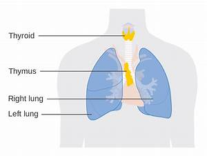 File Diagram Showing The Position Of The Thymus Gland Cruk