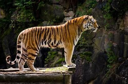 Animals Nature Tiger Desktop Backgrounds Wallpapers