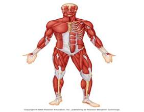 Anterior Surface Muscles of the Body