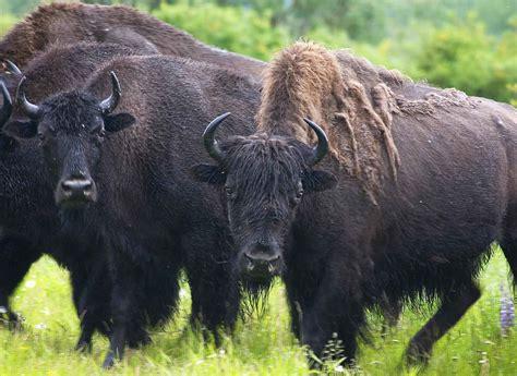 File:Wood bison or mountain buffalo bison bison athabascae.jpg