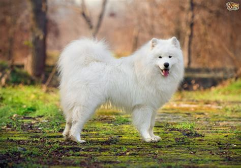 Samoyed Dog Breed Facts Highlights And Buying Advice