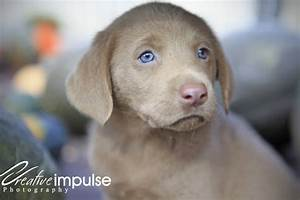 Creative Impulse: Silver and Chocolate Lab Puppies