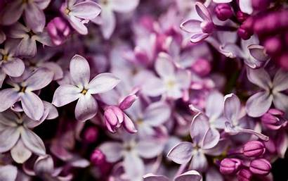 Lilac Flowers Wallpapers Pretty Background Backgrounds Flower