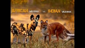 African Wild Dog Vs Indian Wild Dog - YouTube