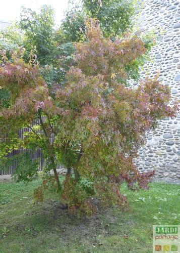 arrosage erable du japon en pot planter un 233 rable du japon en pot jardipartage