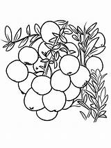 Coloring Cranberry Printable Bog Template sketch template