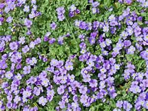 Bodendecker Blau Blühend Winterhart : blaukissen pflanzen pflege und schneiden ~ Michelbontemps.com Haus und Dekorationen