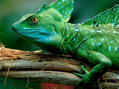 Green Animal Wallpaper - animals green basilisk lizard desktop wallpaper
