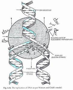 Mechanism Of Dna Replication  Explained With Diagrams