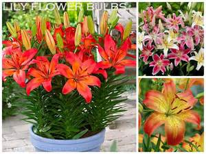 asiatic lilies ten bulbs to plant in the for summer garden color