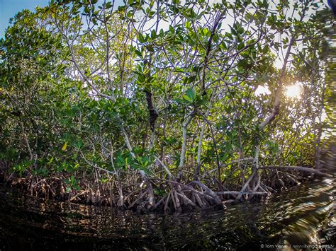 What Are Mangrove Forests? Livingdreamstv