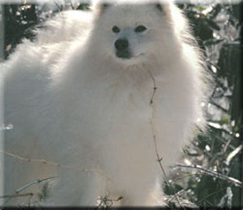 American Eskimo Shedding Problem by American Eskimo Breed Information And Pictures